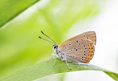 Orange brown buttefly on a plant leaf Royalty Free Stock Photography