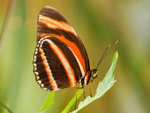 Orange and brown butterfly Stock Photos