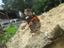 Butterfly on the rock. Orange and brown butterfly stock photo