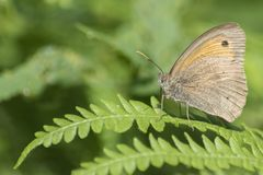 An orange and brown butterfly on Southampton Common stock image