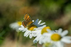 Orange and brown butterfly, Lycaena tityrus, sitting on a flower. Orange and brown butterfly, Lycaena tityrus, sitting on yellow and white flower of marguerite stock photo
