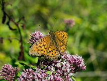 Argynnis adippe.  High brown frittilary, male. Royalty Free Stock Photography