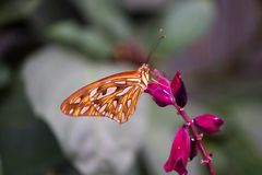 Orange, brown Butterfly on a pink flower Royalty Free Stock Images