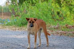 Orange brown color of dog standing on the gravel road floor. It is a domesticated carnivorous mammal stock photo