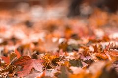 Brown colorful fall leaves in pile during Autumn. Sel Stock Photo