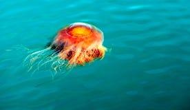 Orange Brown Jellyfish Reserrection Bay Alaska Sea Wildlife Stock Photos