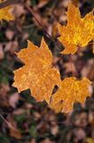 Orange/Brown Maple Leaves Royalty Free Stock Photos