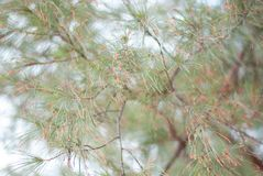 Orange and brown pine tree leaves hanging on its branch and blow royalty free stock photos