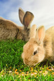Orange and brown rabbits eating corn in green grass Royalty Free Stock Image
