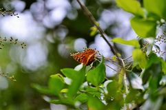 Orange brown spotted butterfly Royalty Free Stock Photo
