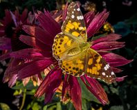 Painted lady butterfly on a flower. An orange and brown spotted painted lady butterfly sitting on a red flower Stock Image