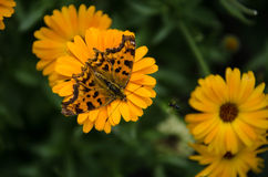Orange, brown, spotty, tiger butterfly on a background of yellow flowers - calendula. Stock Photography