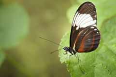 Orange, brown and white butterfly Stock Images