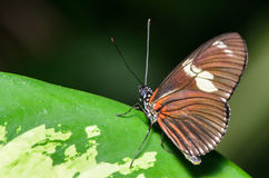 Orange, Brown, and White Butterfly. On a Green Leaf Stock Image