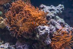 Orange Bubbla-spets anemon och lilla Clownfish inom akvariet arkivbilder
