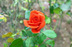 Orange bud rose at the botanic garden of Greece royalty free stock photo