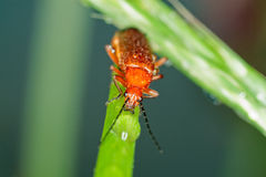 Orange Bug. An orange bug in its natural environment stock photos