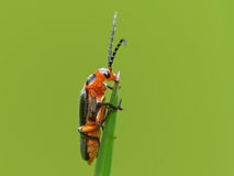 Orange Bug Feeding on a Grass Tip Royalty Free Stock Photos
