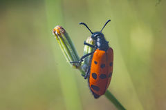 Orange bug on field day light close up composition photography Stock Photography