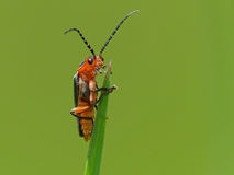 Orange Bug on Grass Tip Royalty Free Stock Photography