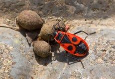 Orange bug near plant seeds on a gray stone Royalty Free Stock Photo