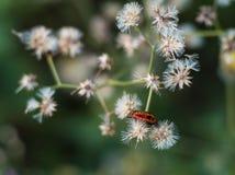 Orange bug Royalty Free Stock Photos