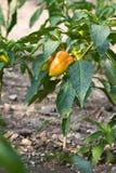 Orange bulgarischer Pfeffer auf dem Busch Stockfotos