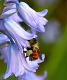 ORANGE BUMBLE BEE. BOMBUS INSECT COLLECTING POLLEN ON INSIDE OF A BLUEBELL FLOWER Royalty Free Stock Photo