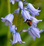 ORANGE BUMBLE BEE. BOMBUS INSECT COLLECTING POLLEN ON INSIDE OF A BLUEBELL FLOWER Stock Photo