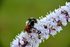 ORANGE BUMBLE BEE. BOMBUS INSECT COLLECTING POLLEN ON A PURPLE AND WHITE FLOWER Stock Photo