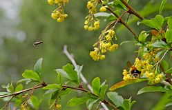 Orange bumblebee drinks nectar, and the bee flies by Royalty Free Stock Photos