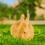 Orange bunnie eating grass in backyard - square composition. A shot of orange bunnie eating grass on blurred background - Selective focus - square composition Royalty Free Stock Image