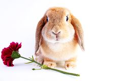 Orange bunny. Super cute lop dwarf rabbit on isolated white background. Cut out royalty free stock photos