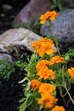 Orange bunte Blumen mit Felsen Stockbilder