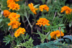 Orange bunte Blumen mit Felsen Stockfotos