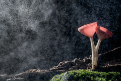 Orange burn cup mushroom or champagne mushrooms, in Thailand Stock Photography
