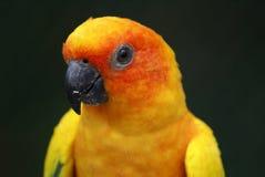 Orange burst. Orange-yellow parrot at the zoo Stock Photos