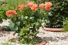 Orange Busch Rosa-Tee Harkness in einem Blumenbeet Fotoformat horizontal Lizenzfreie Stockbilder