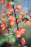 Orange bush of Japanese quince. On a gray-blue background Royalty Free Stock Images