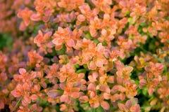 Orange bush Royalty Free Stock Photo