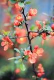 Orange buske av den japanska kvitten Royaltyfria Bilder