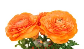 Orange buttercup Stock Photography