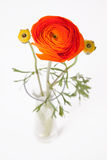 Orange Buttercup in glass vase on white background Stock Image
