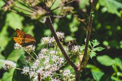 Orange butterflies and bees are posing on mountain flowers. Orange butterflies are posing on mountain flowers during summer royalty free stock photo