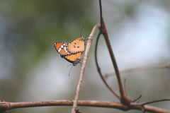 Orange butterflies are breeding on branches. Stock Images