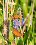 Orange Butterflies on Purple Flower. Two orange gulf fritillary butterflies are resting on purple pickerel weed stock photo