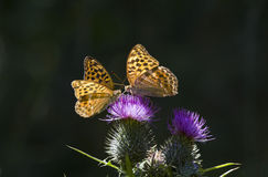 Orange butterflies. Two butterflies were sharing a thistle flower and the light was falling nicely on their wings Stock Photo