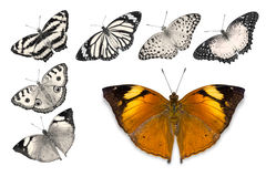 Orange butterflies on white background. Close up of orange butterfly Autumn Leaf isolated on white background with clipping path, among other desaturated orange stock image