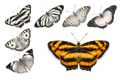 Orange butterflies on white background. Close up of orange butterfly Common Jester isolated on white background with clipping path, among other desaturated royalty free stock images