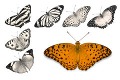 Orange butterflies on white background. Close up of orange butterfly Common Leopard isolated on white background with clipping path, among other desaturated royalty free stock photo
